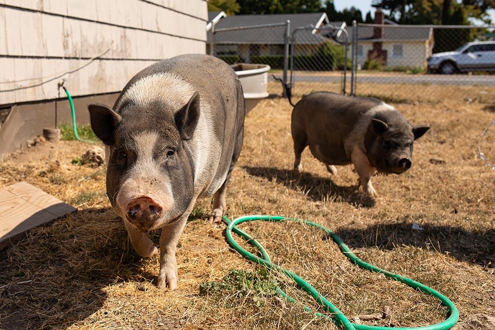 Precious Little Lambs pigs
