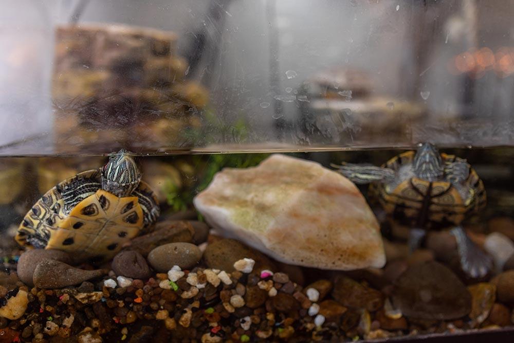 Precious Little Lambs turtles