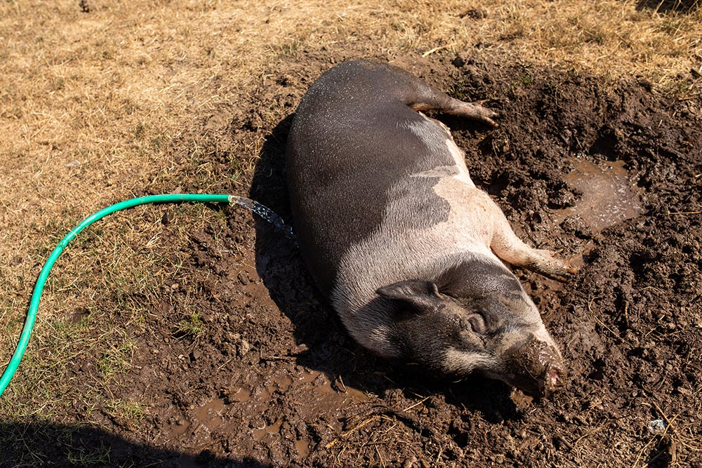 Precious Little Lambs pig in mud